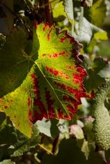 Weinlaub_Herbst